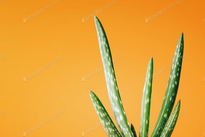 Aloe Vera Pflanze auf gelb-orangefarbenem Hintergrund. Freier Kopierraum. Tropische Heilkräuter Konzept