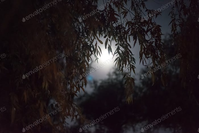Full moon willow