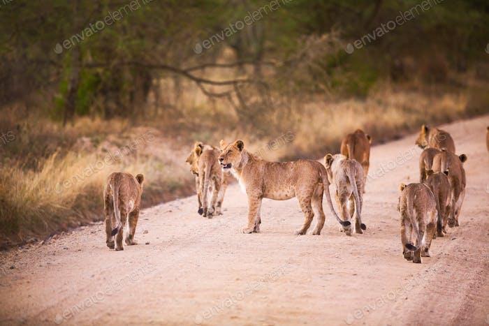 Lion pride walking on road in Serengeti