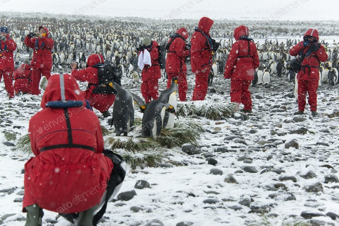Travellers in bright orange waterproofs observing and photographing king penguins.