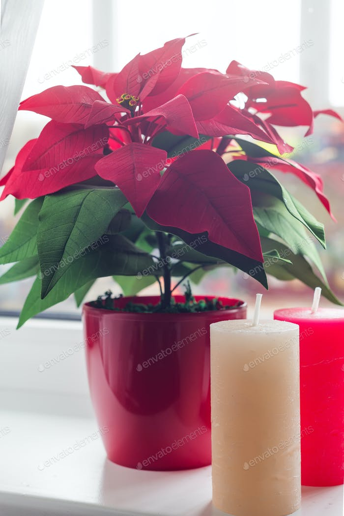Christmas flower poinsettia with color candles in living room, on lights window background. Natural