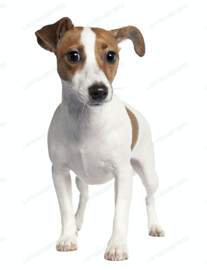 Jack russell (10 months old)