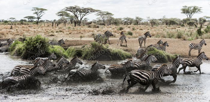 Herd of zebra galloping in a river, Serengeti, Tanzania, Africa