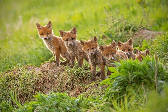 Roter Fuchs, Vulpes Vulpes, kleine junge Jungtiere in der Nähe der Höhle neugierig herumschwitzen