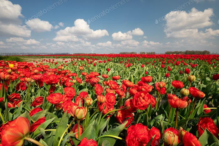 field with red tulips on sunny spring day