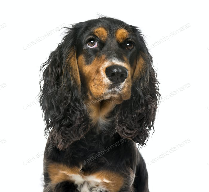Close-up of a thoughtful English Cocker Spaniel , isolated on white