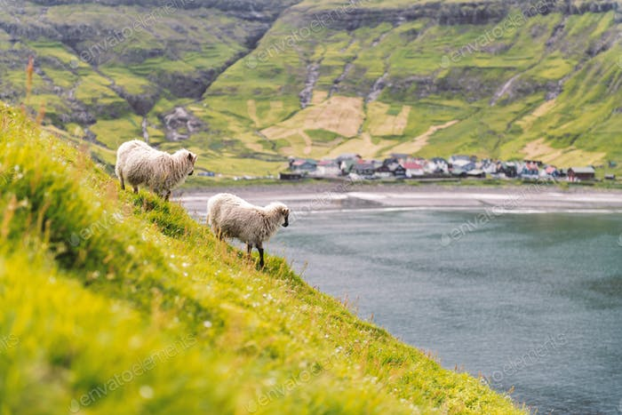 Two sheeps near Tjornuvik village beach on Streymoy island