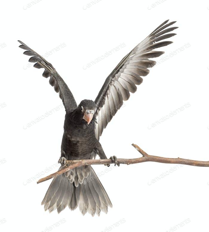 Greater Vasa Parrot, Coracopsis vasa