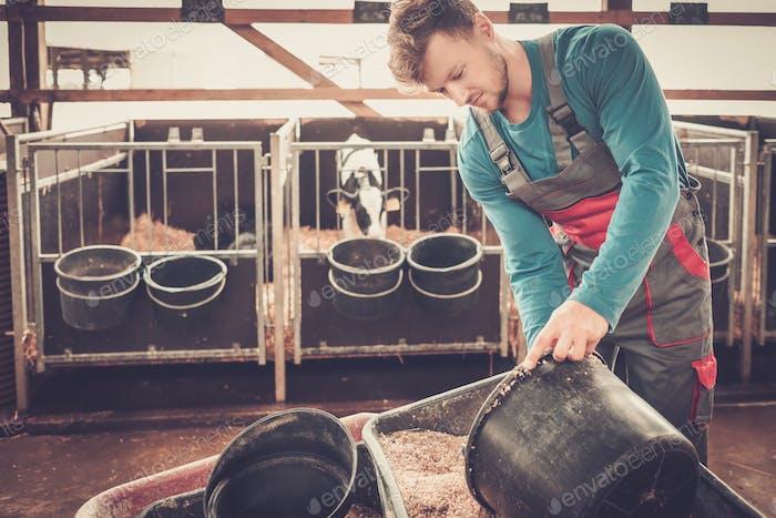 Junger Landwirt Fütterung Kalb im Kuhstall im Milchviehbetrieb.