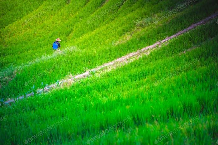 Sprühen Käfer und Unkrautvernichter Chemikalien auf Reisfeldern