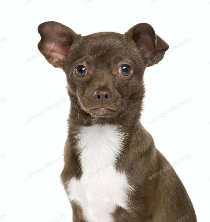 Close-up of a Chihuahua Dog, cut out