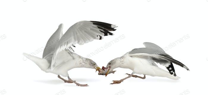European Herring Gulls, Larus argentatus, 4 years old, fighting over fish flying against