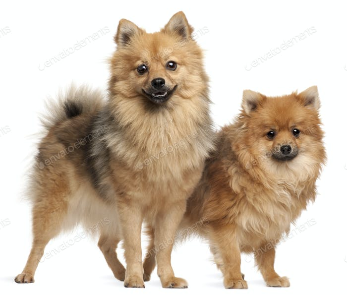 Two Spitz dogs, 1 year old, standing in front of white background