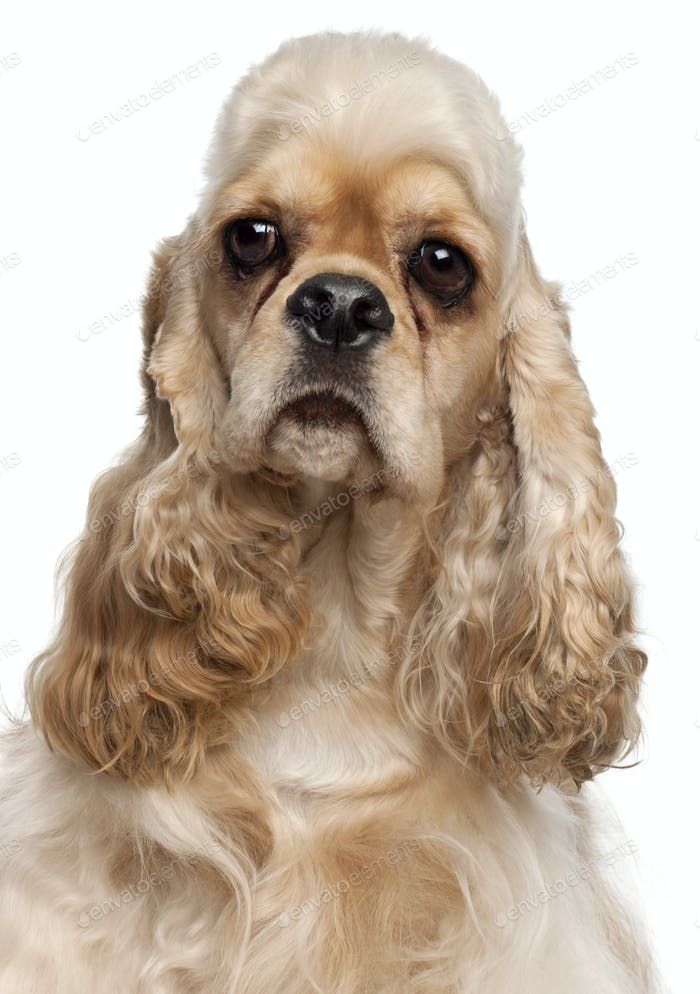 Close-up of American Cocker Spaniel, 1 year old, in front of white background