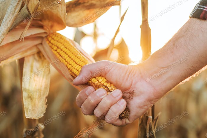 Maize farmer picking ripe ear of corn