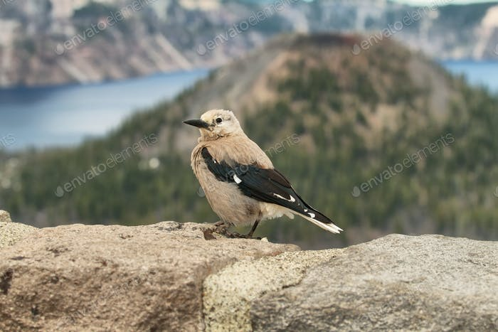 Clark's Nutcracker Nucifraga columbiana bird