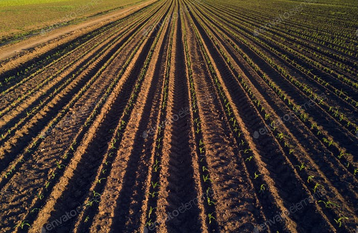 Maize crop field in perspective