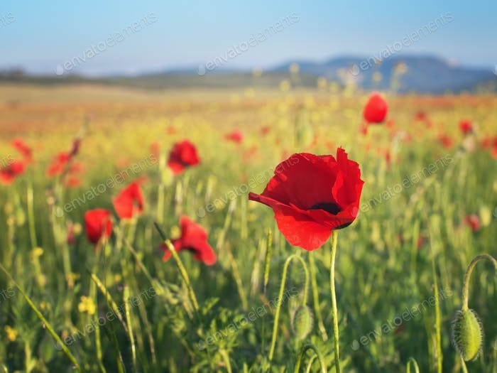 Red poppy flower portrait in meadow.