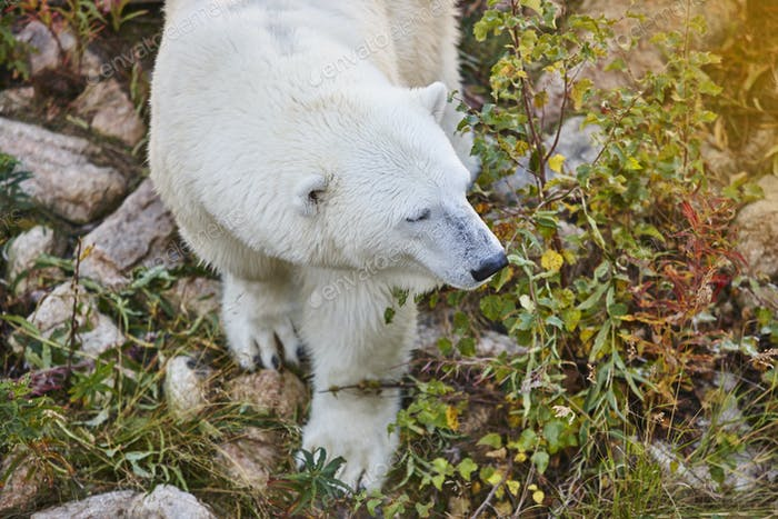 Polar bear in the wilderness. Wildlife animal background. Horizontal