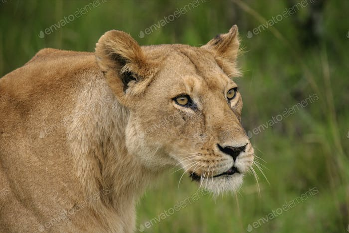 Lion found in the tanzanian national parks225