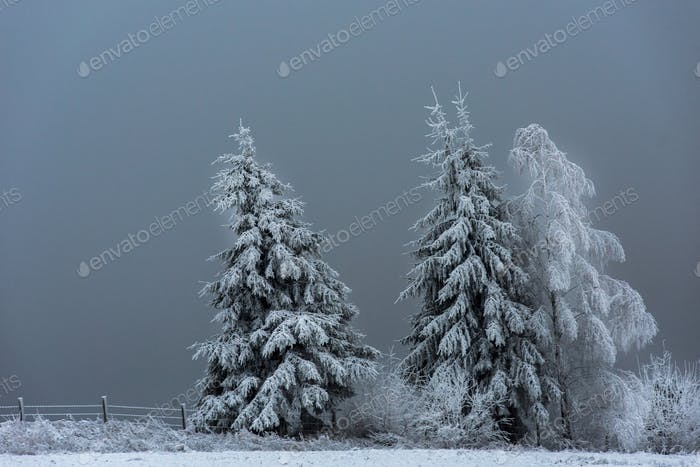 Fairy snow covered fir trees in the mountains a wintertime