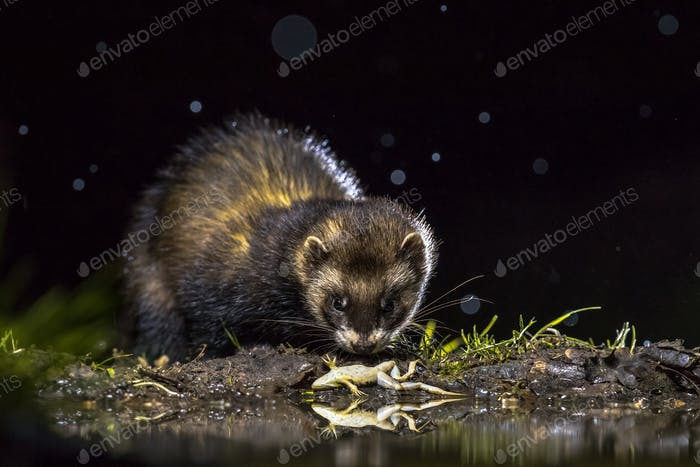 European polecat with frog prey