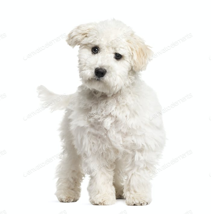 Maltese puppy standing, 6 months old, isolated on white