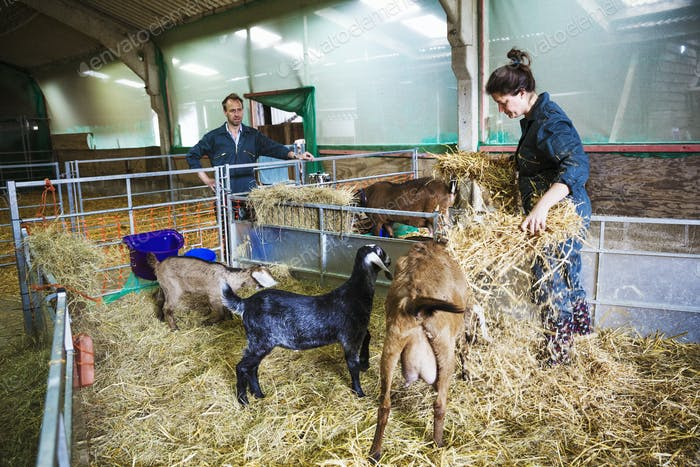 Man and woman in a stable with goats, scattering straw on the floor.