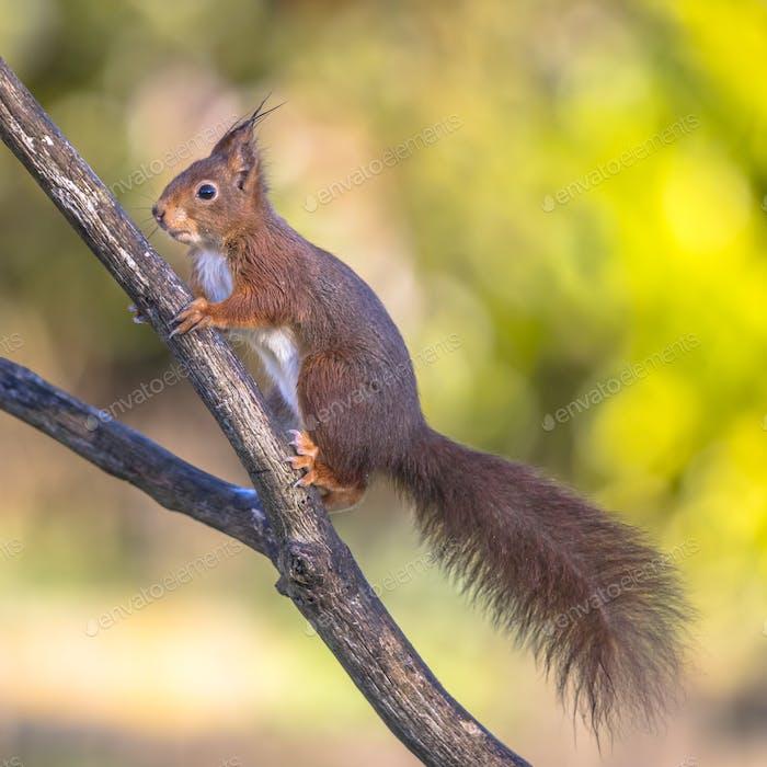 Red squirrel alert on branch