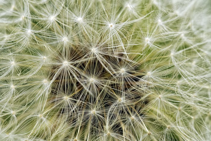 Delicate background of white soft and fluffy seeds of the dandelion