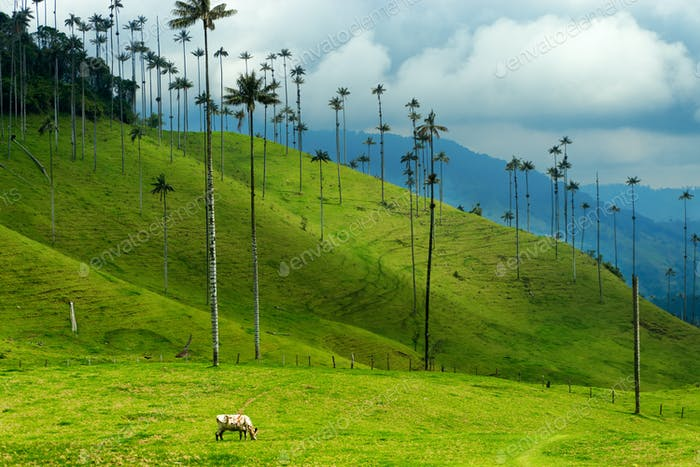 Cow Grazing Amongst Wax Palm Trees