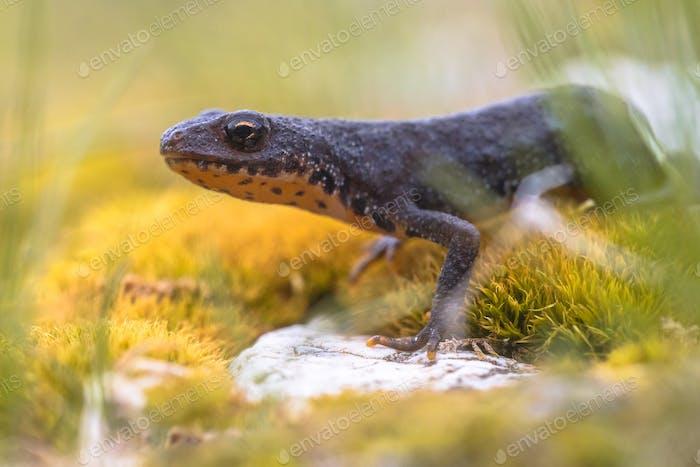 Alpine newt on yellow moss