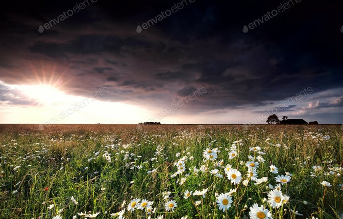 sunshine and stormz cloud over chamomile field