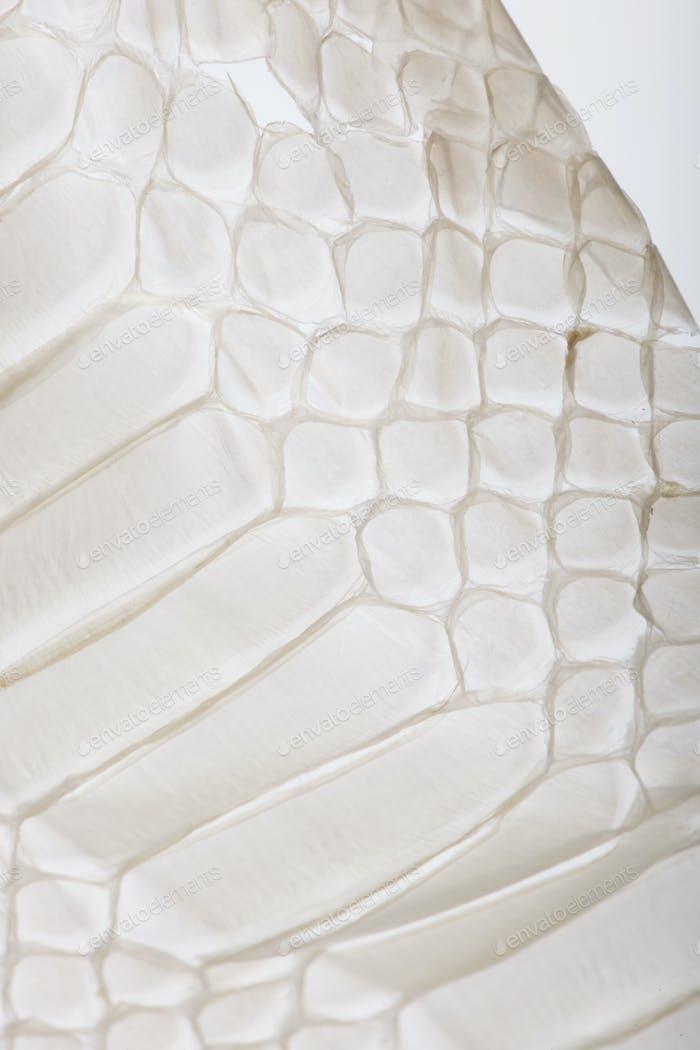 Close-up of squamata, scaled reptile