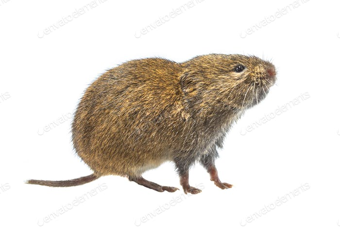 Side view Field vole on white background