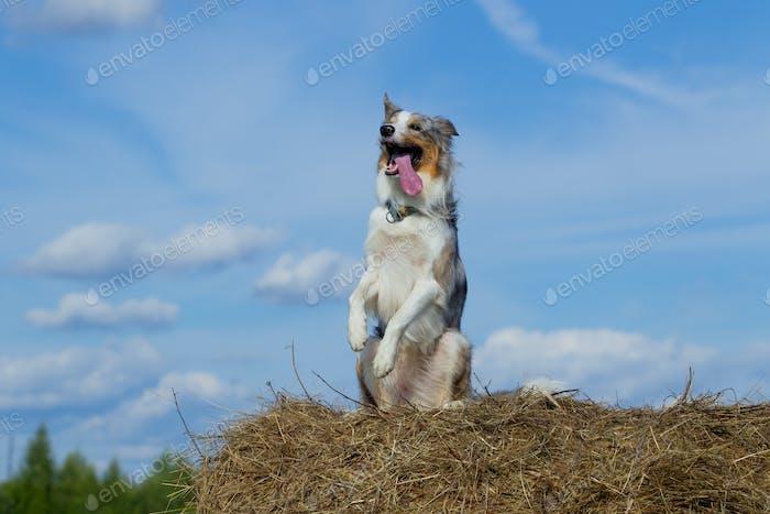 Border Collie Hund zu Fuß