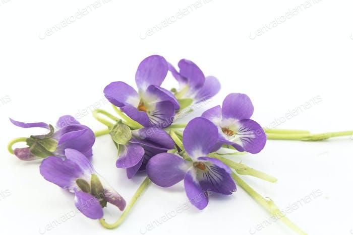Violets, Viola Odorata