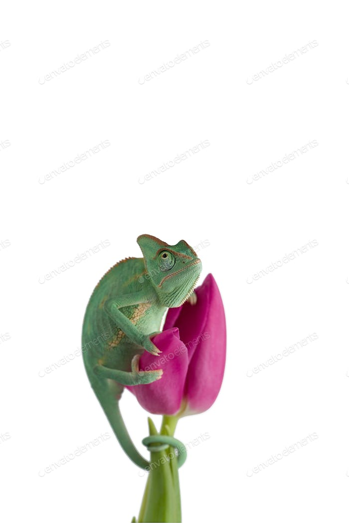 Veiled Chameleon on a flower isolated on white background