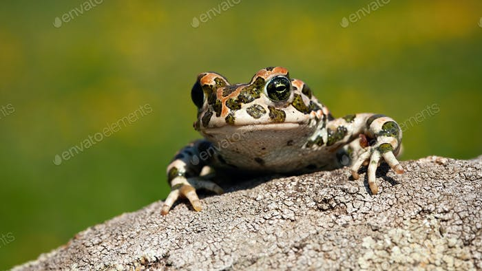 Cute european green toad peeking out with legs and fingers on the branch