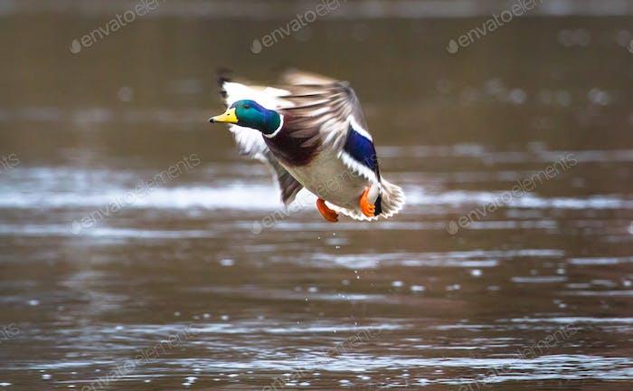 Mallard Duck in Flight in England