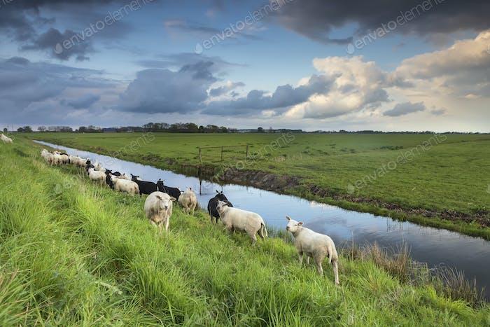 Schafherde auf Weide am Fluss