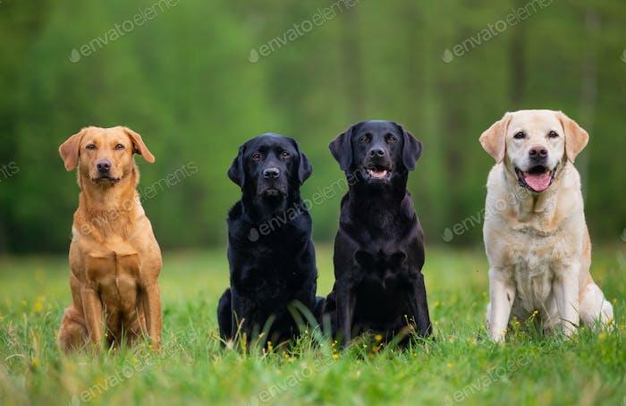 Four Labrador Retriever Dogs