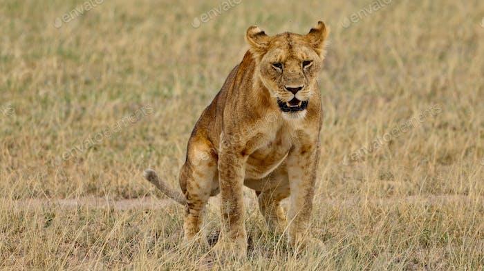 Mighty Lion beobachtet die Löwinnen, die bereit sind für die Jagd in Masai Mara, Kenia