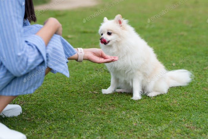 Woman feed cute white pomeranian in the park