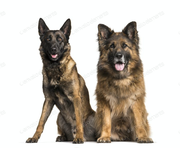 Mixed-breed dogs sitting and panting, cut out