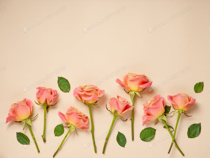 pink roses on beige background