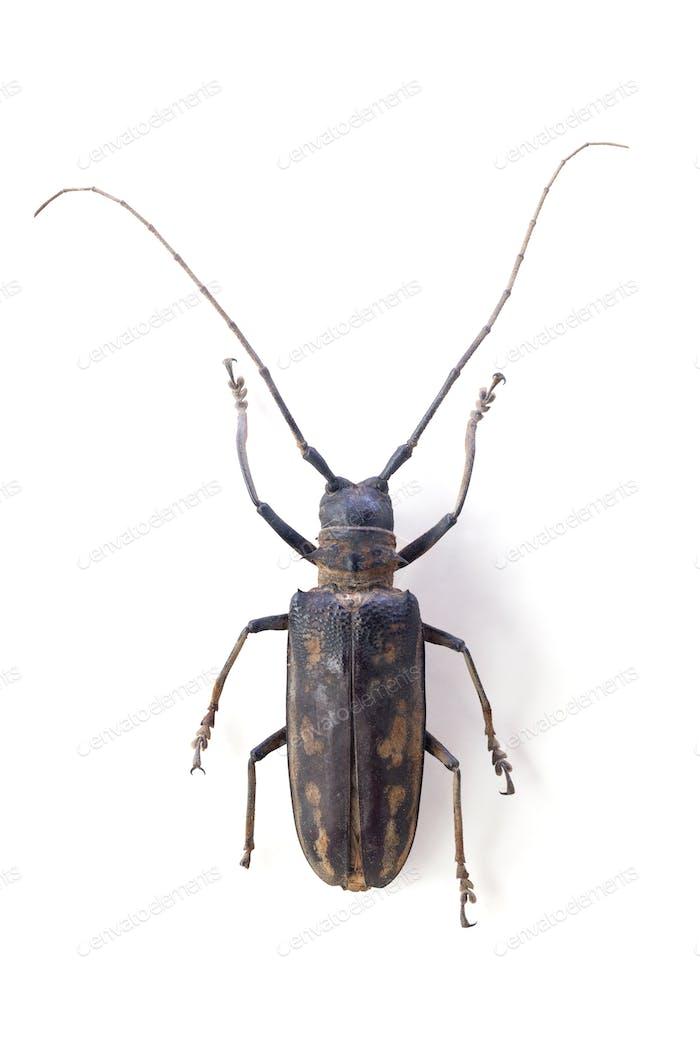 the longicorn beetle  isolated