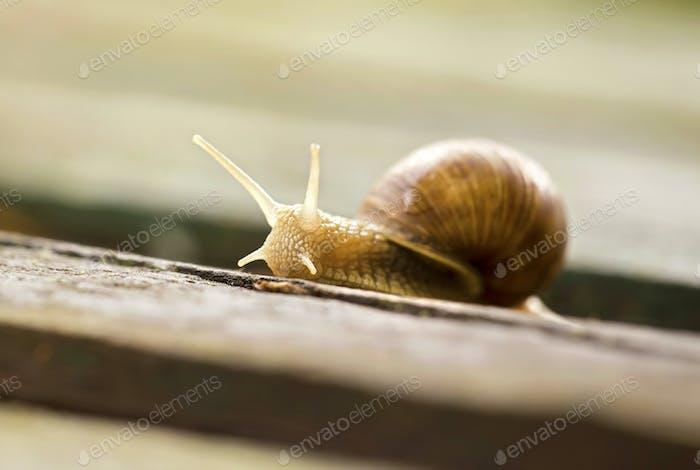 Slow snail closeup