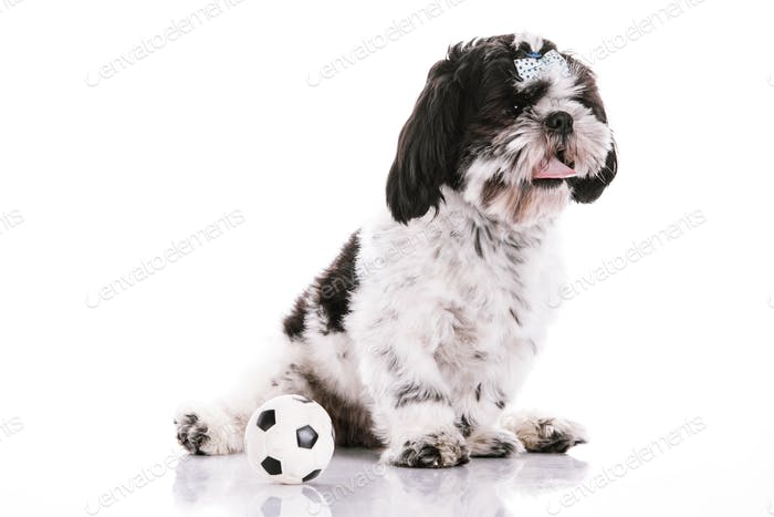 Dog on a white background with a ball
