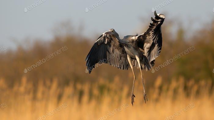 Grey heron landing on field in orange spring sunlight